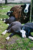 Mother Sheep Resting With Her Lambs