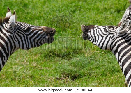 Two zebras appearing to be laughing or talking with each other in East Africa poster