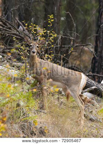 Portrait Of Deer In Woods.