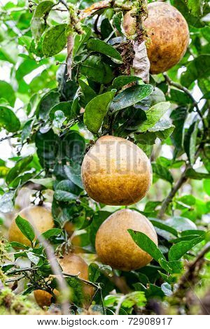 Pomelo Fruit Also Referred To As Pummelo, Pamplemousse, And Shaddock, Pomelos Originated In Southeast Asia Are The Largest Of The Citrus Fruits, And Most Closely Related To Grapefruits