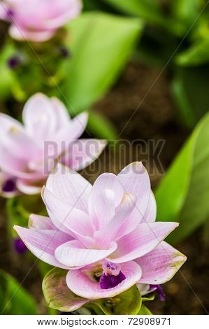 Siam Tulip In Chiangmai Thailand