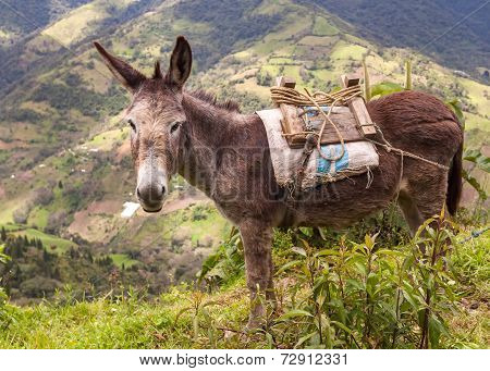 Donkey Or Ass Is A Domesticated Member Of The Horse Family, South America