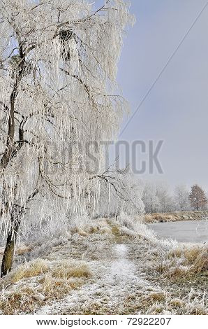 Frosty willows in frosty misty morning.