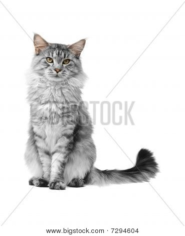 灰色缅因库恩猫