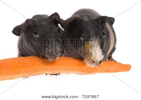 Skinny Guinea Pigs With Carrot On White Background
