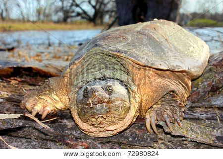 Snapping Turtle Illinois Wetland