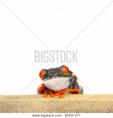 Red eyed tree frog at night on white background