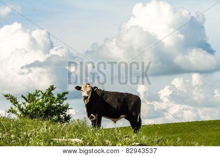 Cow On A Hillside