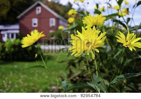 Yellow daisy's