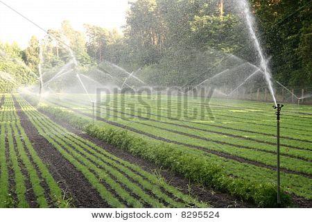 Nursery plantation being watered