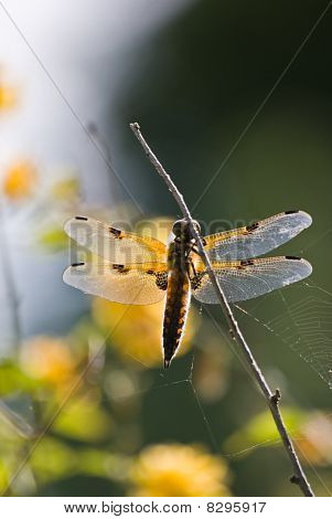 vier spotted chaser