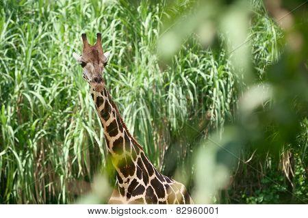 Giraffe in the green brushwood