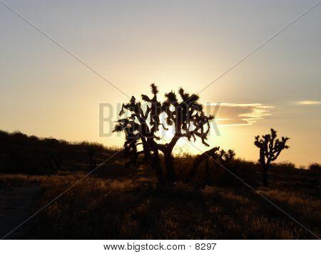 Silhouette Of Joshua Tree