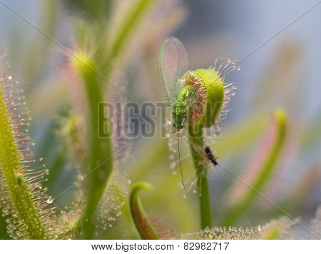 Chrysopidae catched by sundew