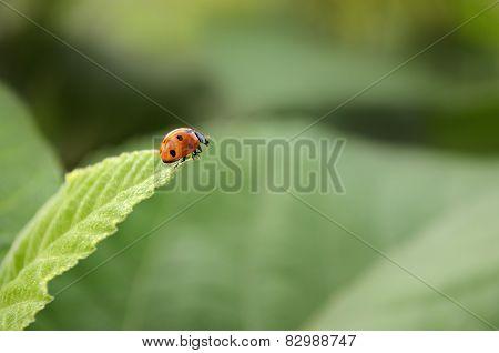Lady Bug taking a leap