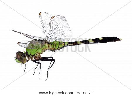 Eastern pondhawk dragonfly Erythemis simplicicollis isolated on white poster