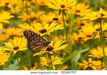 Monarch And Wildflowers