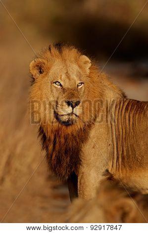 Portrait of a big male African lion (Panthera leo), Kruger National Park, South Africa