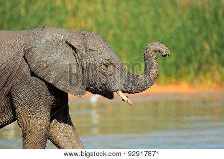 A young elephant (Loxodonta africana) at a waterhole, Addo Elephant National Park, South Africa