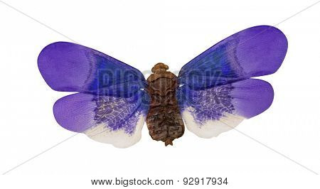 macro photo of lilac and blue insect isolated on white background