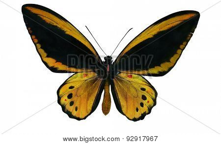 macro photo of yellow and black butterfly isolated on white background