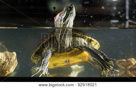 Young Turtle Sitting In Aquarium