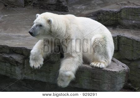 a polar bear resting on rock above a water feature in a zoo. poster