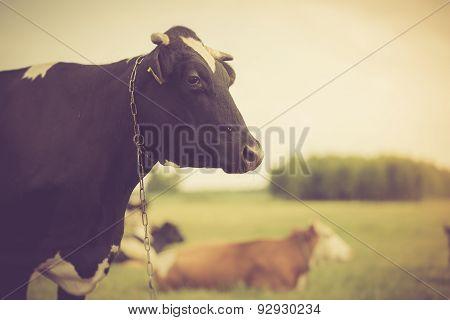 Vintage Portrait Of Cow On Pasture