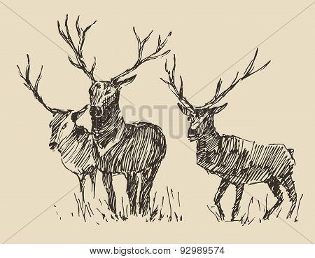 Deers Engraving, Vintage Illustration, Sketch
