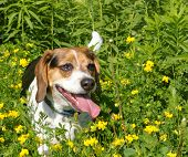 beagle standing in field of yellow flowers poster
