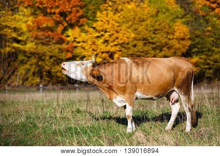 Single cow moos in field. Autumn nature background.