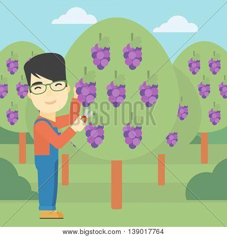 An asian farmer harvesting grapes in vineyard. Farmer collecting grapes. Young farmer working in vineyard. Vector flat design illustration. Square layout.