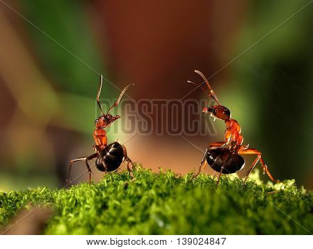 Battle of two ants. Beautiful ants are on the moss lifting abdomen and sprinkle each other with formic acid