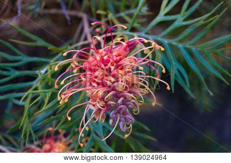 Grevillea Flower. Exotic Plant In Bloom