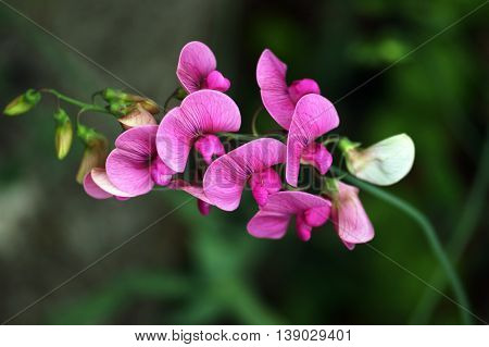 Sprig of sweet peas on a green background