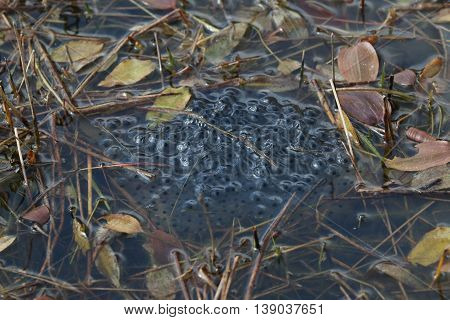 A clump of frogspawn: the eggs of The Common Frog, in a pond of still water. The picture was taken in The Forest of Dean, Gloucestershire, England in late-March.