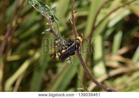 The Megascolia maculata. The mammoth a wasp.