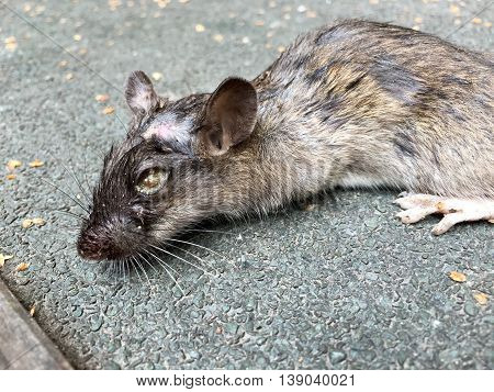 Dead rat with maggots in their eyes
