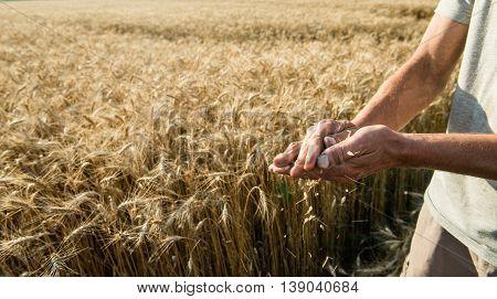 Hands of the grain-grower against a wheaten field