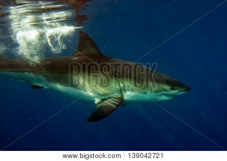 Great White Shark Ready To Attack Underwater Close Up