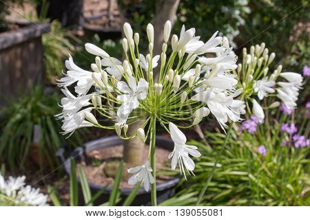 White flowering Agapanthus in a garden in Goettingen Germany