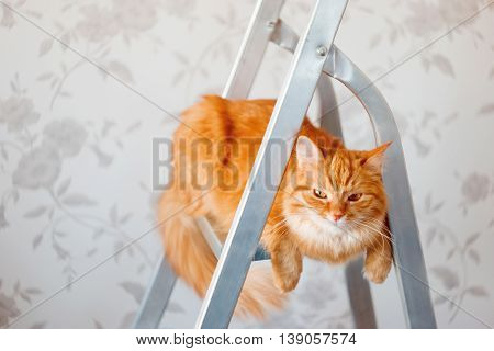 Cute ginger cat sits on ladder. Fluffy pet with unsatisfied expression on face. Place for text.