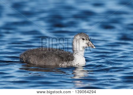 Juvenile EEurasian coot (Fulica atra) swimming in blue water in its habitat