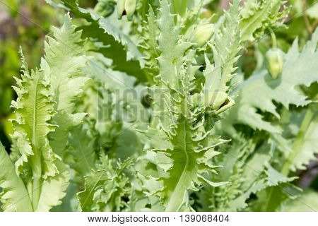Opium Poppy (papaver Somniferum) Is A Plant From The Family Of The Poppy Family (papaveraceae), Whic