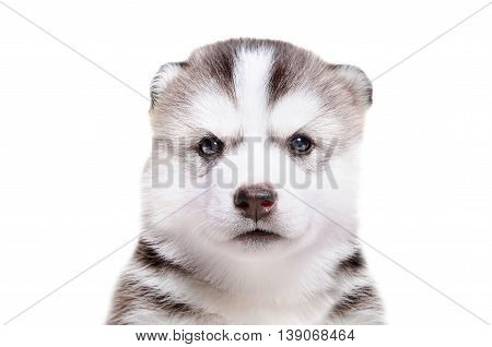 Portrait of  adorable puppy breed Husky isolated on white background