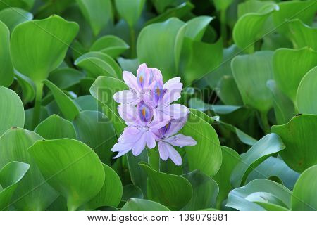 Water hyacinth flower with green leaves in the river