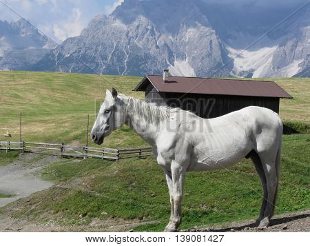 Single horse in an alpine pasture with Sesto Dolomites South Tyrol Italy in background