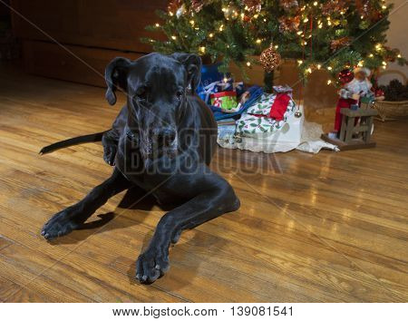 Black Great Dane laying next to the Christmas tree so it is hard to look at presents