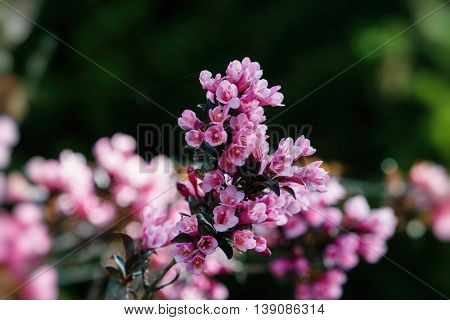 Panicle of pink flowers with branch blooming in springtime with blur background