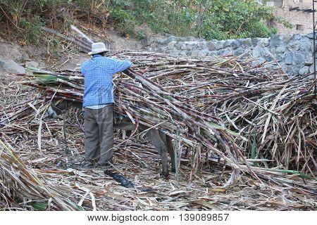 Magdalena Cajamarca Peru - July 13 2016: Man unloads sugarcane from burro's back in Magdalena Cajamarca Peru on July 13 2016.